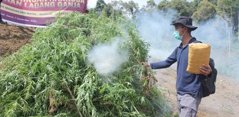 Bareskrim Polri Musnahkan Lima Hektare Ladang Ganja di Sumut