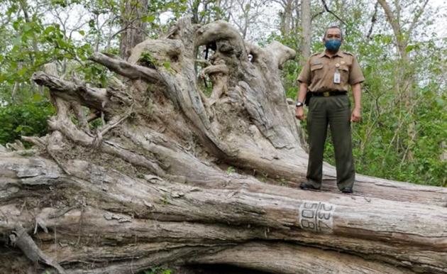 Pohon Jati Raksasa Akan Dijadikan Ikon Kabupaten Blora